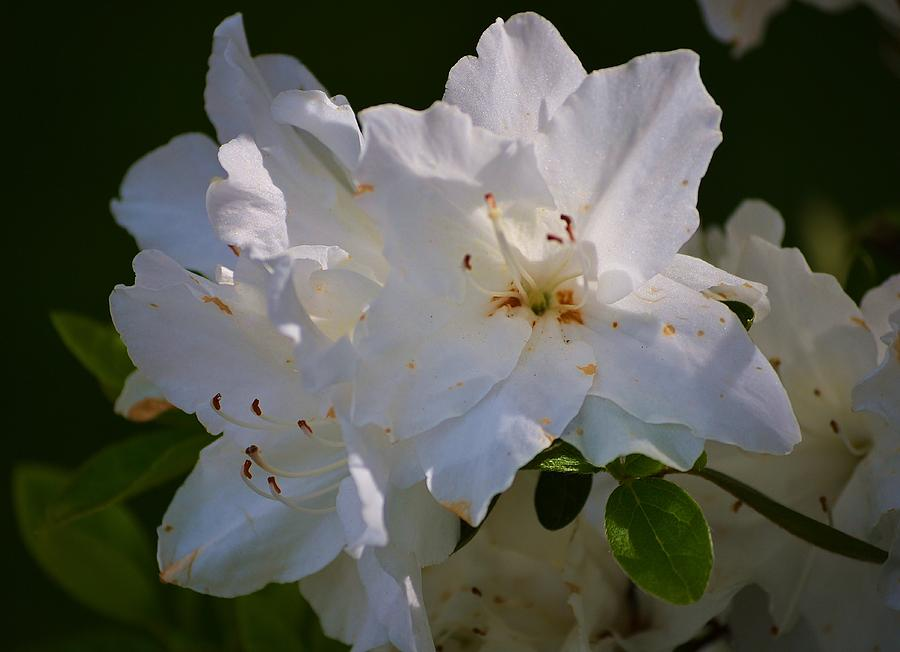 Graceful Azalea Photograph  - Graceful Azalea Fine Art Print