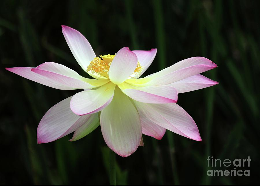 Graceful Lotus Photograph  - Graceful Lotus Fine Art Print
