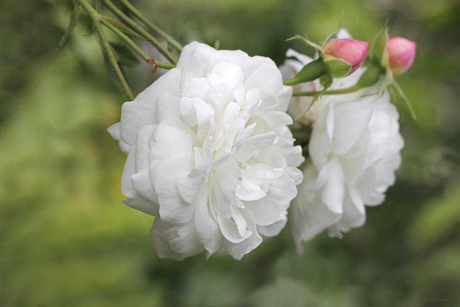 Graceful White Rose And Pink Rosebuds Photograph  - Graceful White Rose And Pink Rosebuds Fine Art Print
