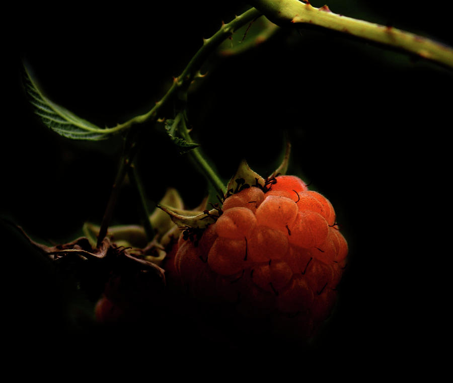 Rural Photograph - Grandmas Berries by JC Photography and Art