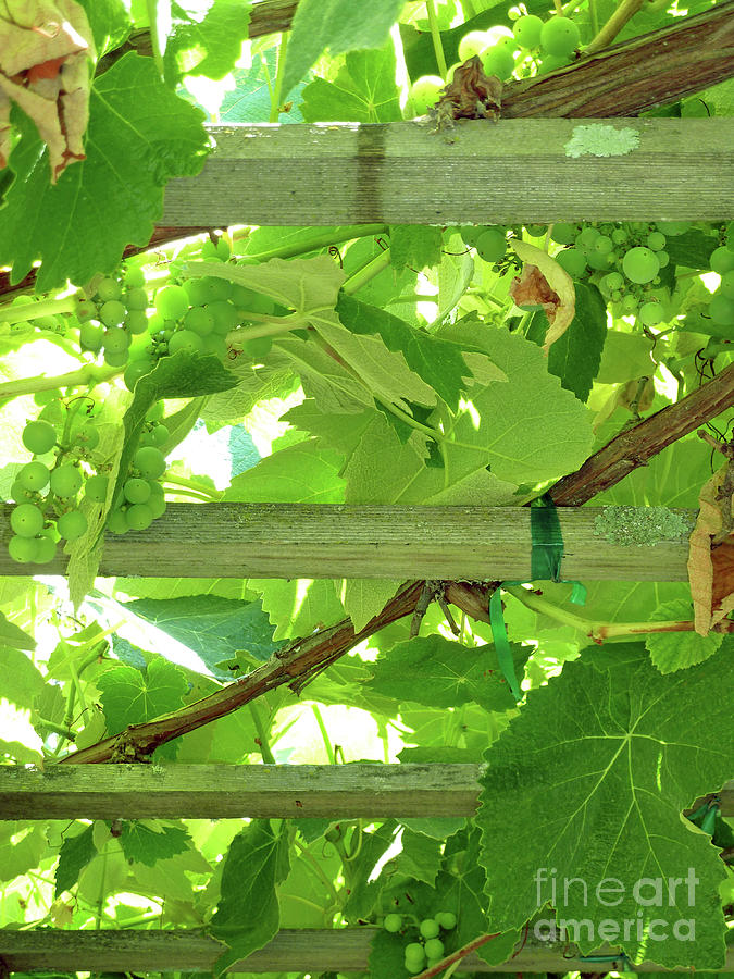 Grape Arbor Photograph  - Grape Arbor Fine Art Print