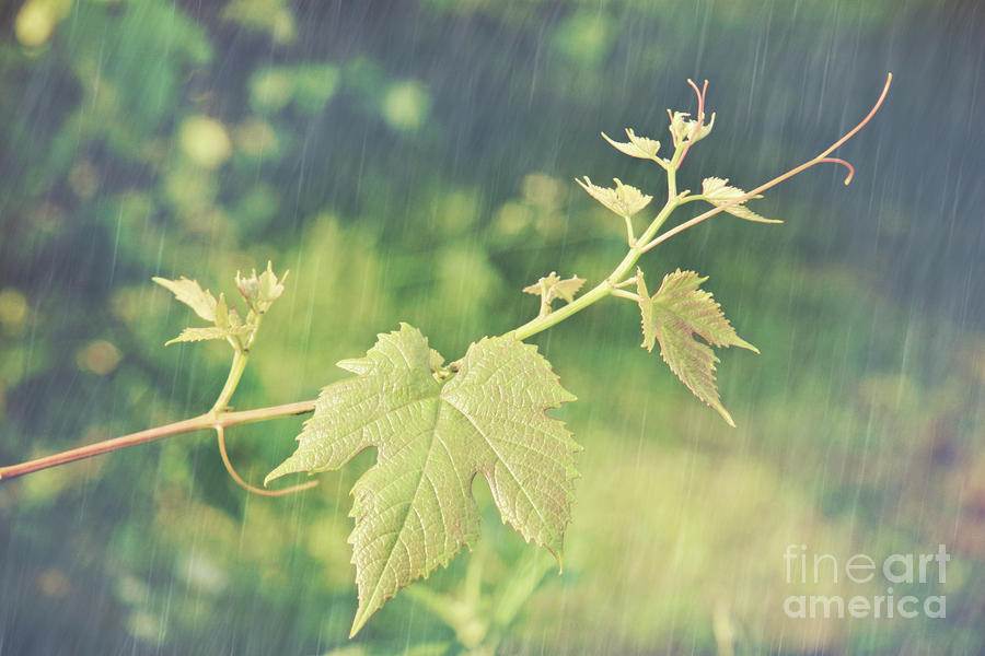 Grape Vine Against Summer Background Photograph