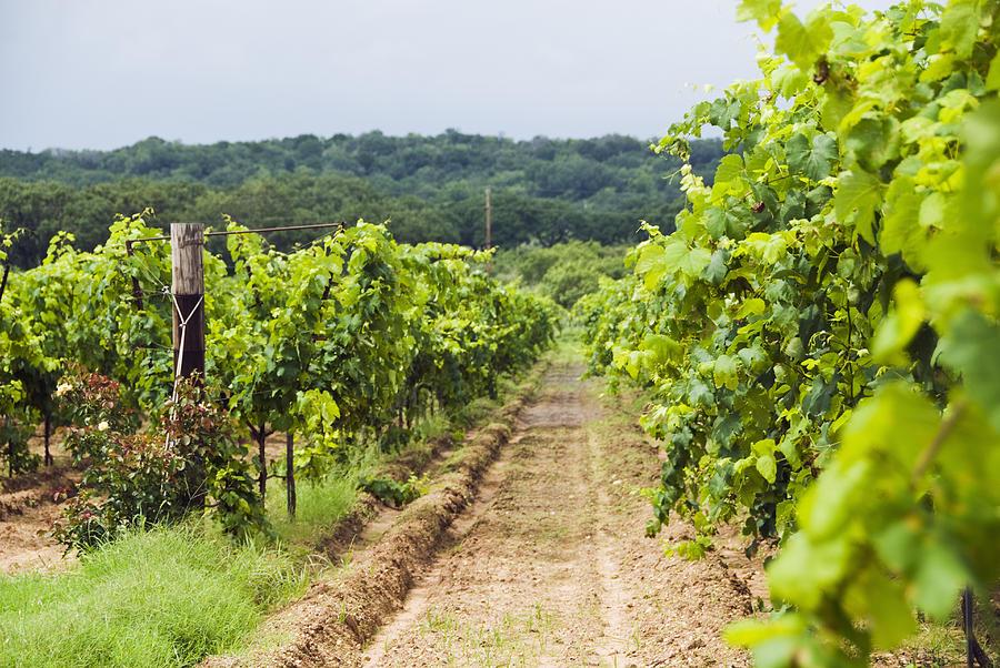 Grape Vines At Fall Creek Vineyards Photograph