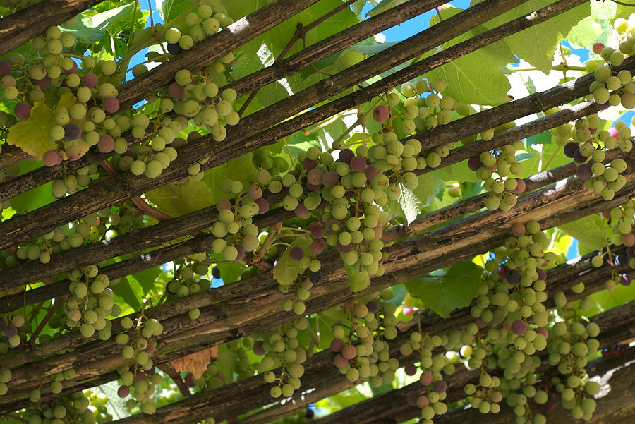 Grapes Grow On Vines Draped Photograph