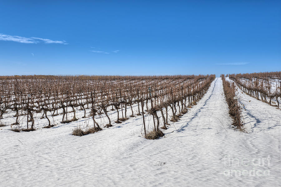 Agricultural Photograph - Grapevines In Snow by Noam Armonn
