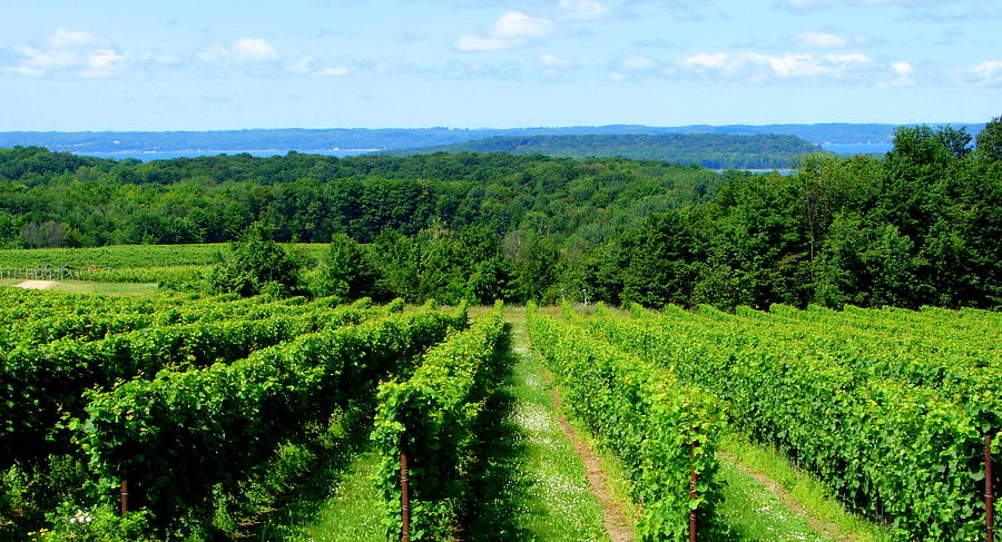 http://images.fineartamerica.com/images-medium-large/grapevines-on-old-mission-peninsula--traverse-city-michigan-michelle-calkins.jpg