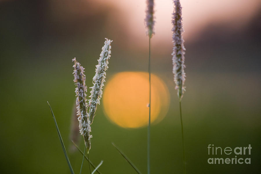 Grass Blooming Photograph