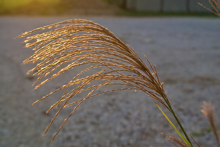 Grassflowers In The Setting Sun Photograph