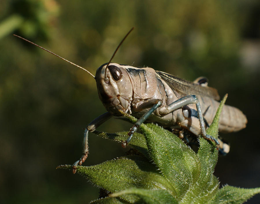 Grasshopper 2 Photograph