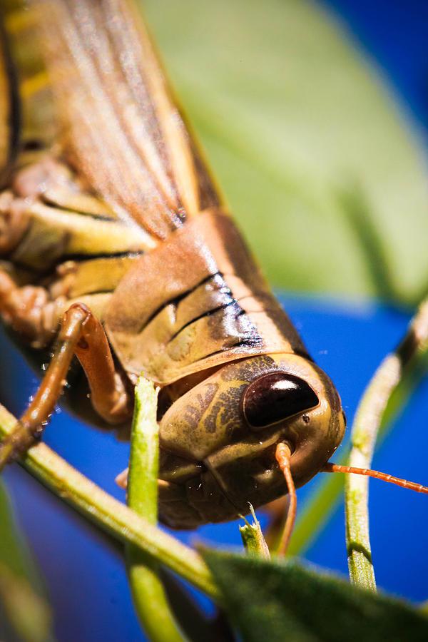 Grasshopper Photograph