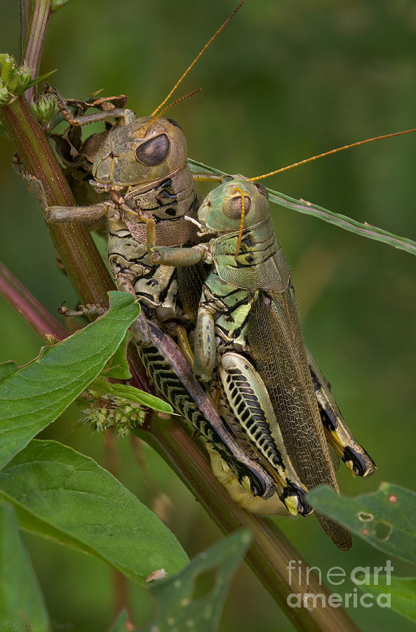 Grasshopper Sex Photograph  - Grasshopper Sex Fine Art Print