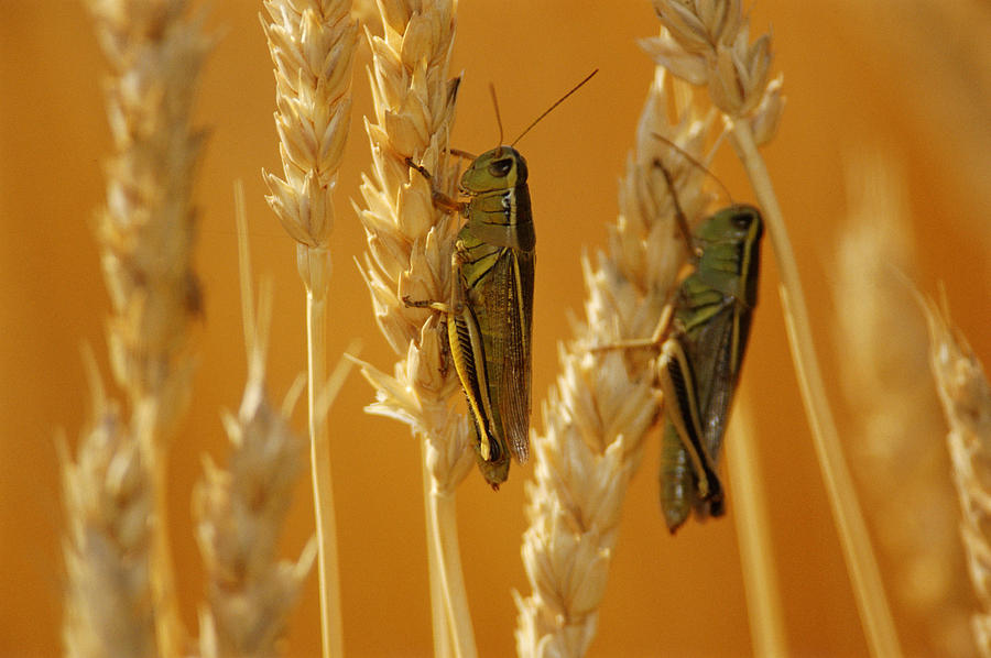 Close Shots Photograph - Grasshoppers On Wheat, Treherne by Mike Grandmailson