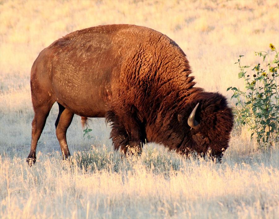 Bison Pyrography - Grassland Giant by Bob Bahlmann