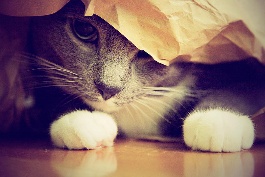 Gray Cat In Bag Photograph