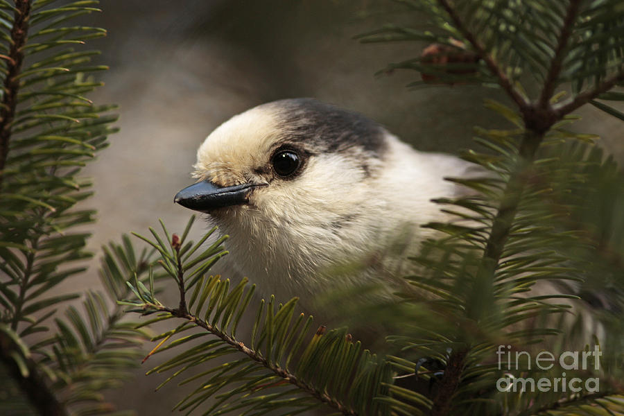 Gray Jay Playing Peek A Boo Photograph  - Gray Jay Playing Peek A Boo Fine Art Print