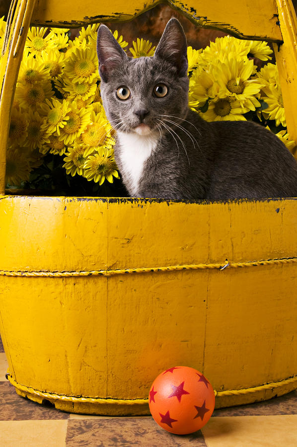 Gray Kitten In Yellow Bucket Photograph