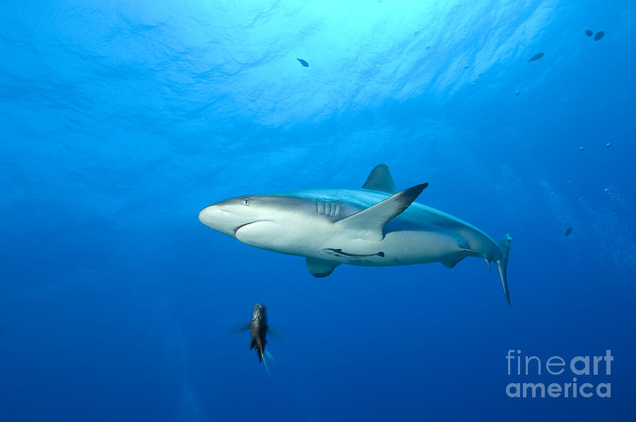 Gray Reef Shark. Papua New Guinea Photograph