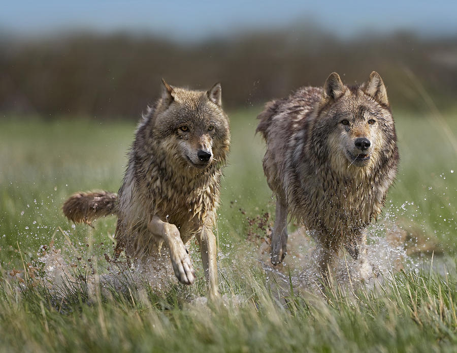 Gray wolf canis lupus pair running photograph