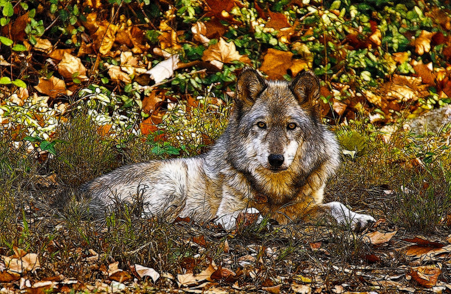 Gray Wolf In Autumn Photograph