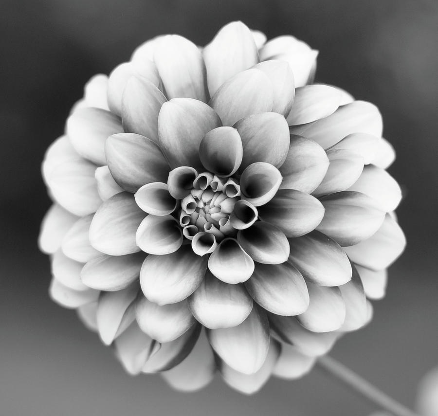 Graytones Flower Photograph  - Graytones Flower Fine Art Print