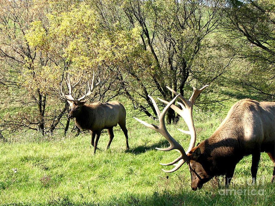Grazing Elk  Photograph