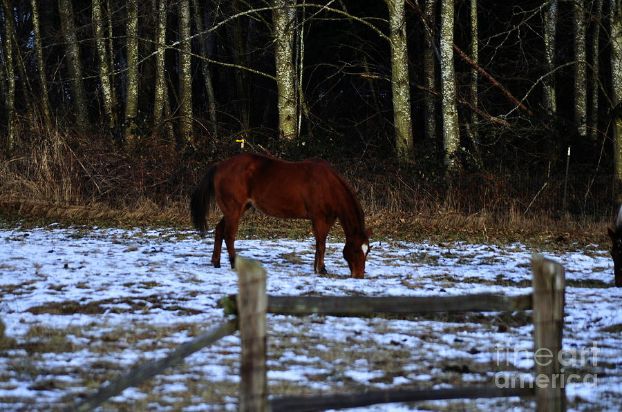 Grazing In A Washington Winter Photograph  - Grazing In A Washington Winter Fine Art Print
