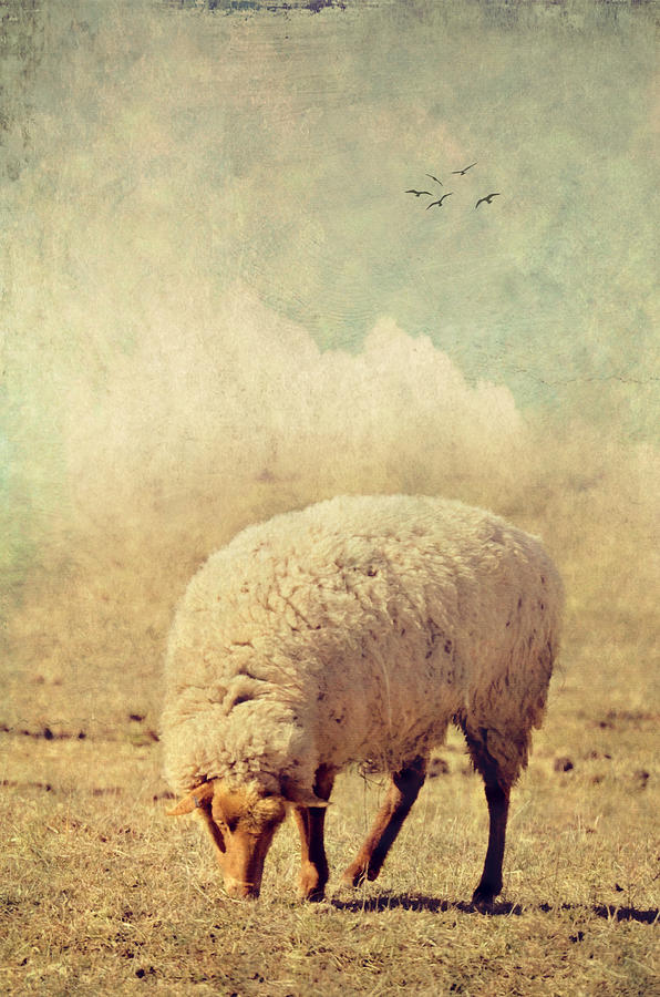 Sheep Photograph - Grazing Sheep by Kathy Jennings