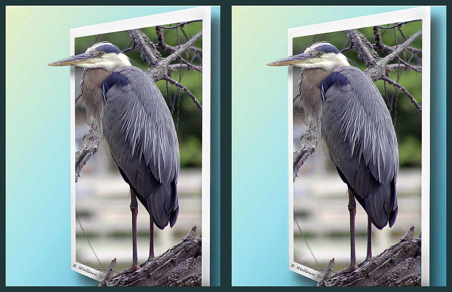 Great Blue Heron - Gently Cross Your Eyes And Focus On The Middle Image Photograph  - Great Blue Heron - Gently Cross Your Eyes And Focus On The Middle Image Fine Art Print