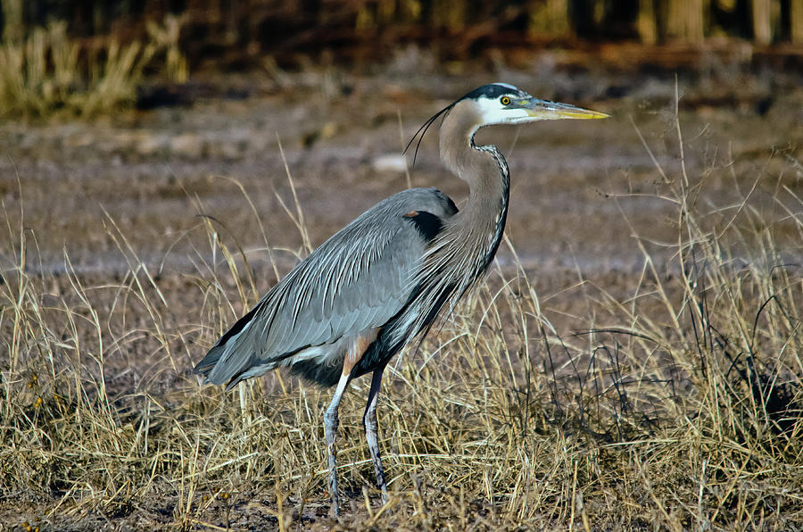 Birds Photograph - Great Blue Heron 2 by Harry Strharsky
