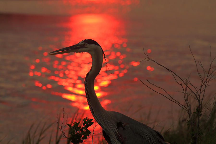 Great Blue Heron At Sunset Photograph  - Great Blue Heron At Sunset Fine Art Print