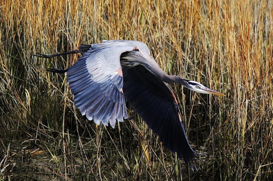 Great Blue Heron Flying In The Marsh Photograph  - Great Blue Heron Flying In The Marsh Fine Art Print