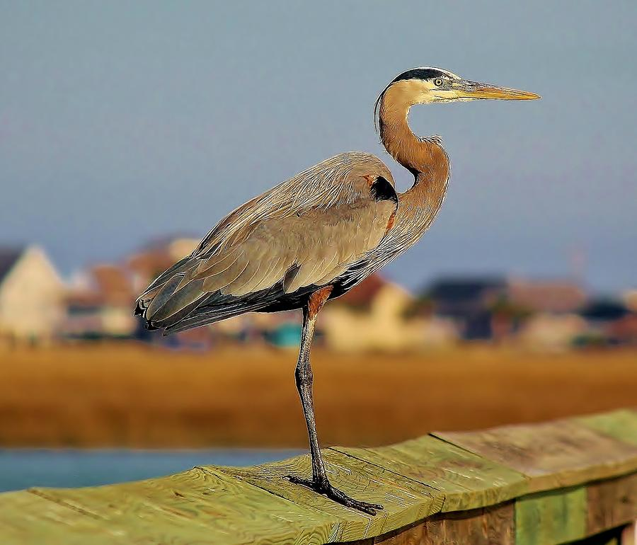 Great Blue Heron On The Marsh Photograph  - Great Blue Heron On The Marsh Fine Art Print