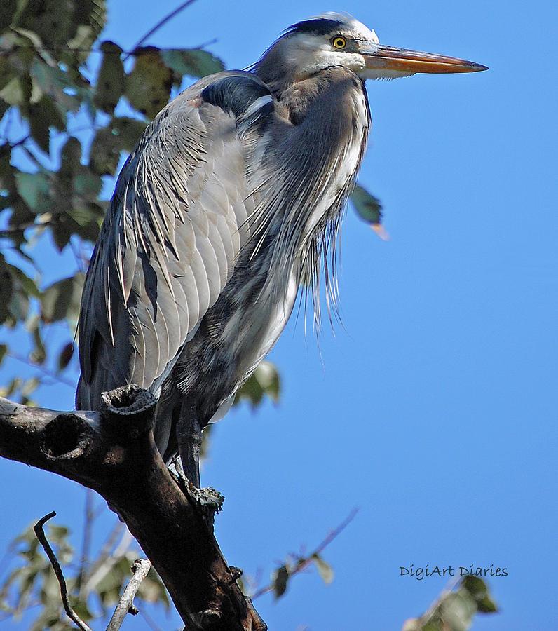 Great Blue Heron Perched Digital Art