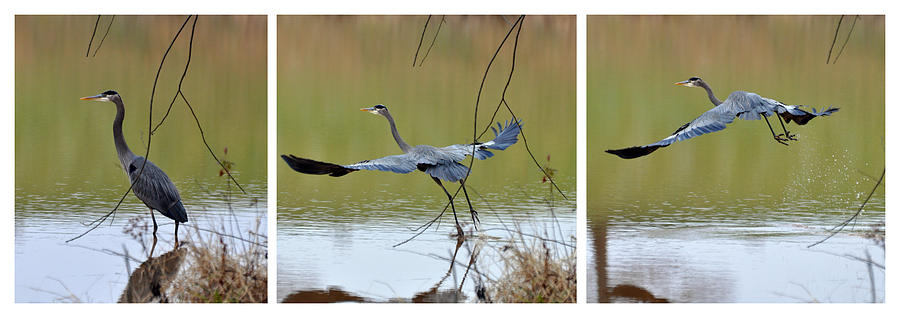 Great Blue Heron Takes Flight - T9535-7h  Photograph