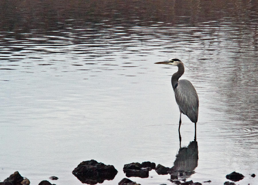 Great Blue Heron Wading 3 Photograph  - Great Blue Heron Wading 3 Fine Art Print