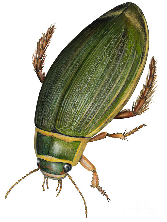 Great Diving Beetle Dytiscus Marginalis - Dytique Borde - Escarabajo Buceador - Keltalaitasukeltaja Painting  - Great Diving Beetle Dytiscus Marginalis - Dytique Borde - Escarabajo Buceador - Keltalaitasukeltaja Fine Art Print