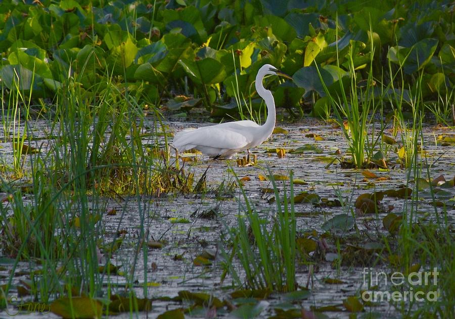 Great Egret 2 Photograph  - Great Egret 2 Fine Art Print