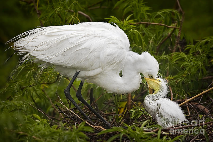 Great Egret And Chick Photograph  - Great Egret And Chick Fine Art Print
