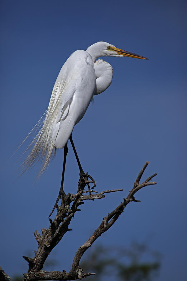 Great Egret, Casmerodius Albus, Perched Photograph  - Great Egret, Casmerodius Albus, Perched Fine Art Print