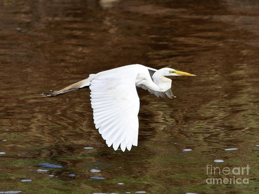 Great Egret In Flight Photograph