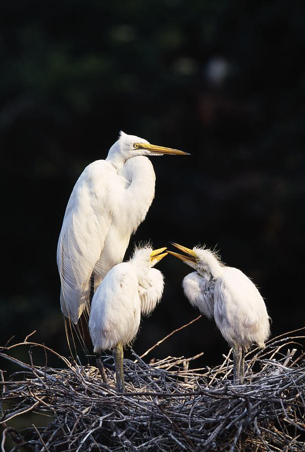 Great Egret In Nest With Young Photograph