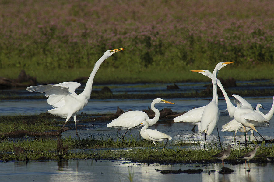 Great Egrets Square Off Over Territory Photograph  - Great Egrets Square Off Over Territory Fine Art Print