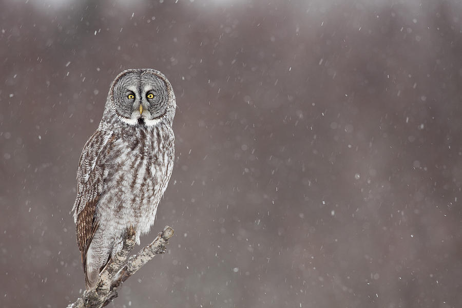 Great Gray Owl In Falling Snow Photograph