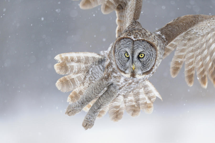 Great Grey Owl In Snowstorm Photograph  - Great Grey Owl In Snowstorm Fine Art Print