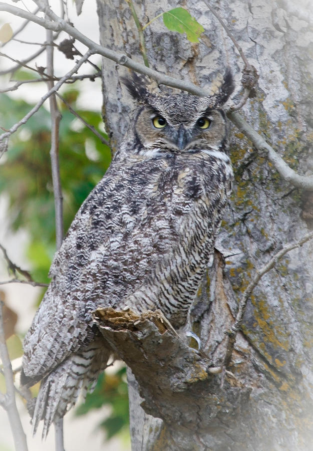 Great Horned Owl II Photograph