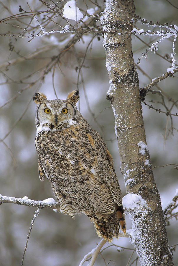 Great Horned Owl In Its Pale Form Photograph
