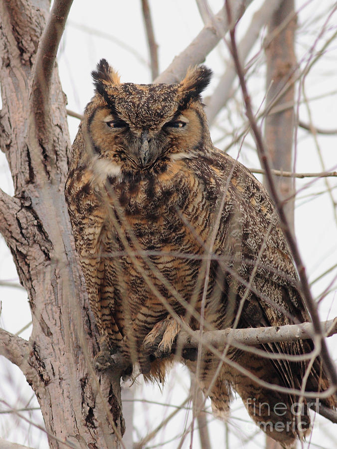 Great Horned Owl Perched Photograph