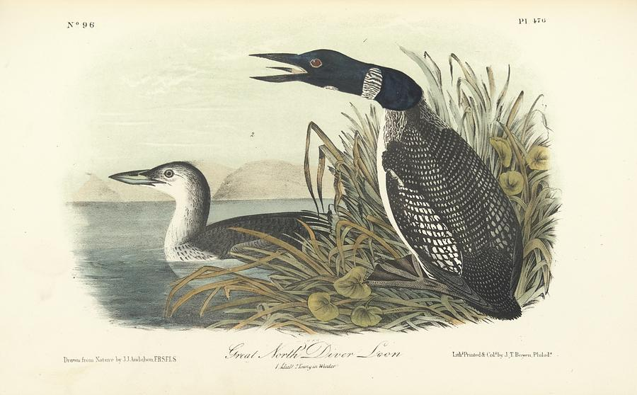 Great North Diver Loon Painting