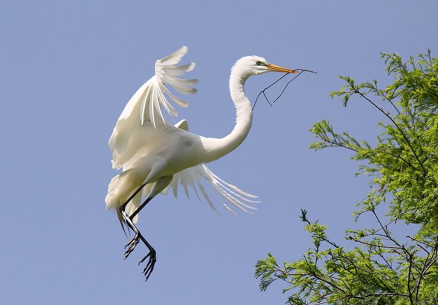 Great White Egret Building A Nest Photograph  - Great White Egret Building A Nest Fine Art Print