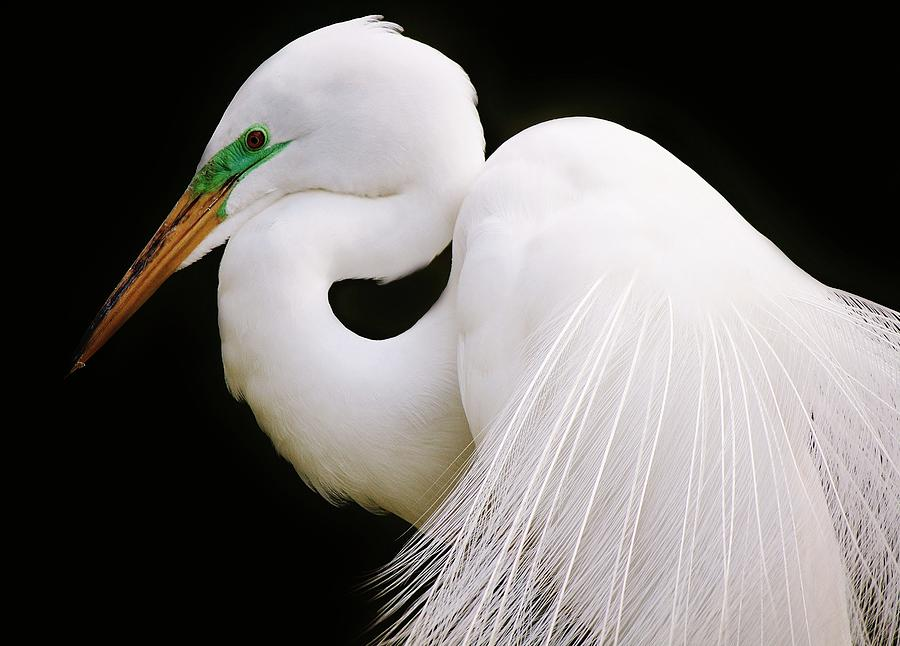 Egret Photograph - Great White Egret In Breeding Plumage by Paulette Thomas